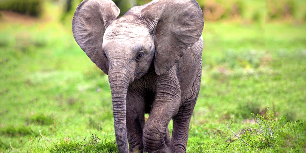 Baby elephant- facts and Informations